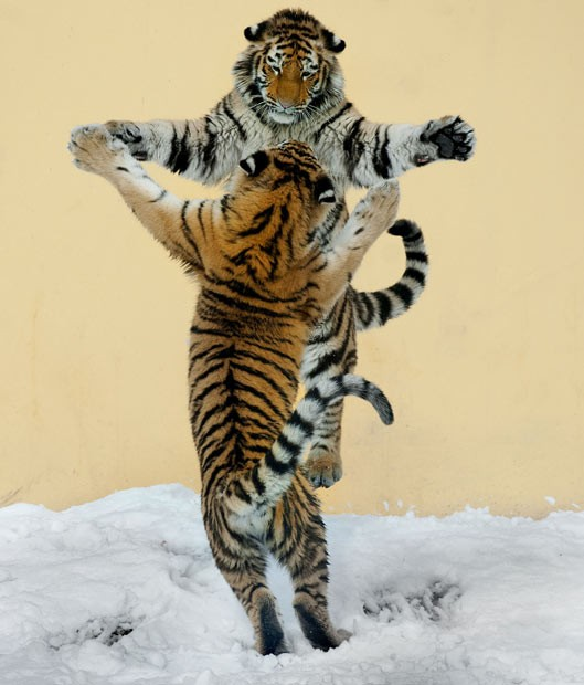 tigers waltzing images