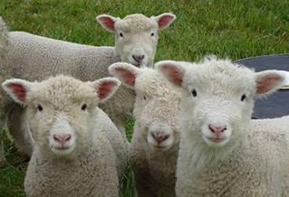 SheepDayPic